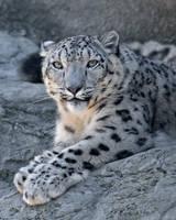 Snow Leopard 2458 by robbobert