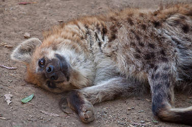 Playful Hyena by robbobert