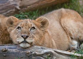 Lion Cub 0519 by robbobert
