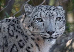 Snow Leopard 2836 by robbobert