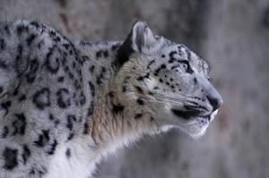 Snow Leopard 2945 by robbobert