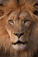 African Lion 4413 by robbobert