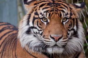 International Tiger Day by robbobert