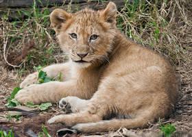 Lion Cub 0280 by robbobert