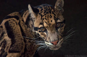 Clouded leopard 9475 by robbobert