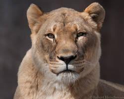 Lioness 8001 by robbobert