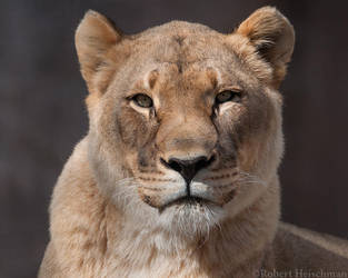 Lioness 8001 by robbobert