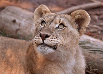 Lion Cub 0256 by robbobert