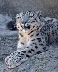 Snow Leopard 2444 by robbobert
