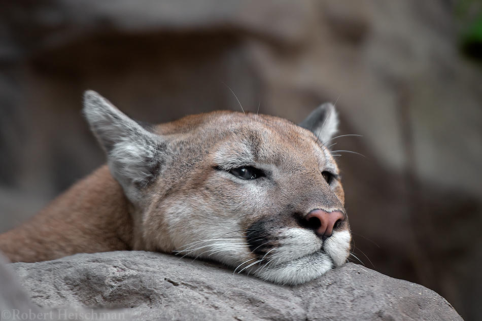 Mountain Lion 1626 by robbobert