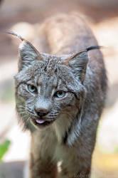 Canada Lynx 0008 by robbobert