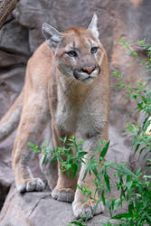 Mountain Lion 1780 by robbobert