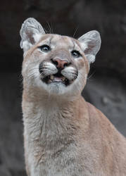 Happy Cougar! by robbobert