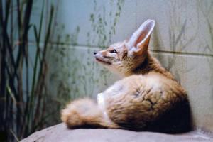 Fennec Fox by robbobert