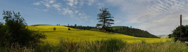 Mustard field 2012-06-30 by eRality