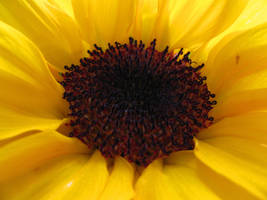 Sunflower Stock I by Cinnamoncandy-Stock