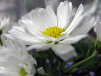 White Flower Stock by Cinnamoncandy-Stock