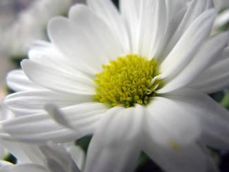 White Flower Stock 2 by Cinnamoncandy-Stock