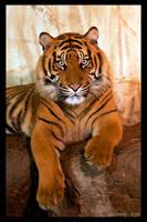 Tiger Cub by RoyallyCrimson