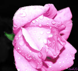 Hot Pink Rose with rain drops by lgwildwomanofthenort