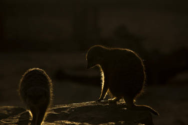 Meerkat at Sundown by JSWoodhams