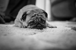 Pug by konstantingl