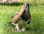 Swainson's Hawk by jpapasso