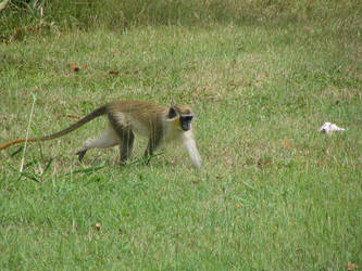 Wild Monkey by TaKaRa006