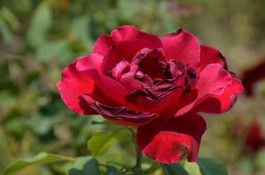 Rose by cythia-duval