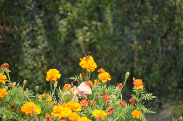 Orange flower and a bee by cythia-duval