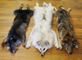 In the Company of Wolves by BlackBackedJackal