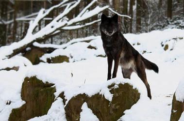 Black Timberwolf 1 by Khalliys