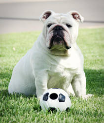 Bulldog and her soccer ball by Feeferlump