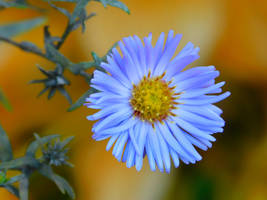 Aster Perennis by vch41048