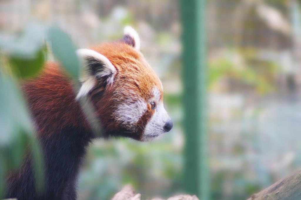 Red Panda by Atimoon