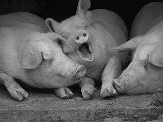 Piggies by mickthemod