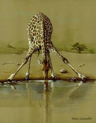 Giraffe at watering hole by marcgosselin