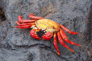 Galapagos Crab by SanibelRoo