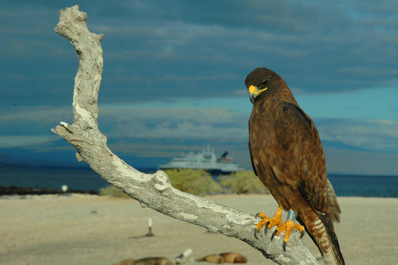 Galapagos Hawk by SanibelRoo