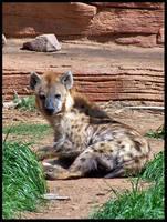 Spotted Hyena by LarkPash