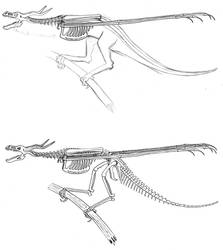 Barbatus skeleton by Larua