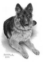 German shepherd by Torsk1