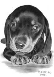 Dachshund Puppy 2 by Torsk1