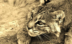 Kentucky Wildcat by SpiffyPhotography