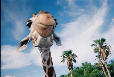 A Happy Giraffe by animaltrainer104