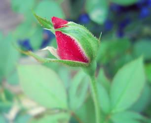rose. by AshuTun