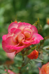 pretty in pink by aggressivegiraffe