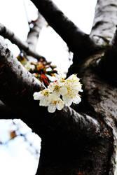 Blossoms by scorpion2kpk