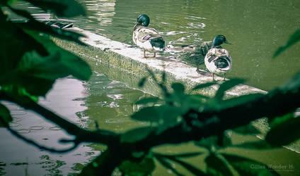 Ducks by unicolored