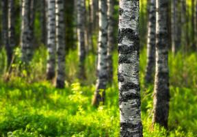 Birch Forest III by JoniNiemela